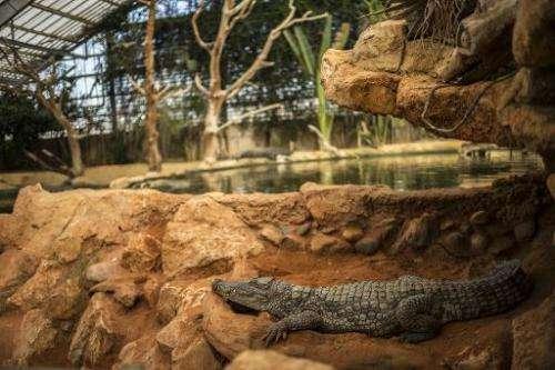 A crocodile lies in its pen on September 22, 2014, in Pierrelate, southeastern France