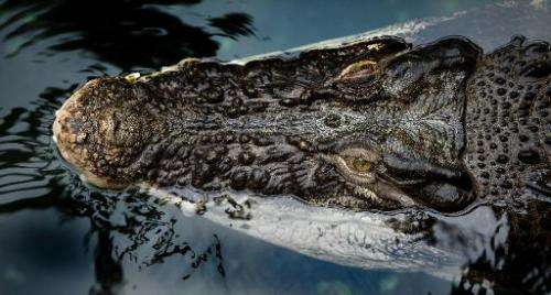A crocodile swims on January 16, 2014 at the zoo in Dresden