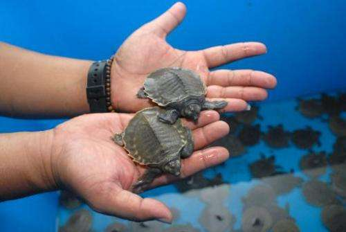 A customs official is seen holding two baby pig-nosed turtles, in Tangerang, Banten province, on January 9, 2014
