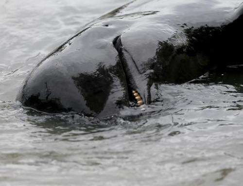 A dead pilot whale is seen in the water before being transported to a facility for a necropsy by the National Oceanic and Atmosp