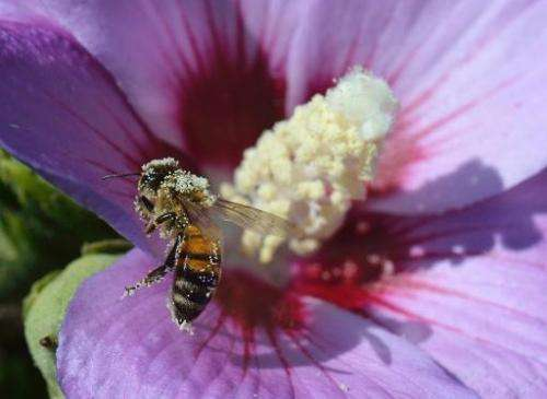 A honey bee packed with pollen lands on a bloom of a hibiscus in Ludwigsburg, southwestern Germany, on September 3, 2013