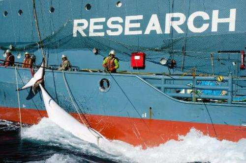 A Japanese whaling harpoon vessel Yushin Maru No. 2, drags a minke whale in the Southern Ocean, February 15, 2013 in this Sea Sh