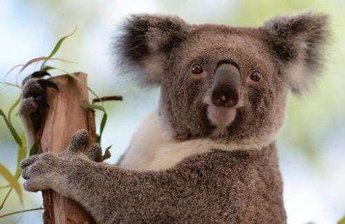 A koala sits on a branch at the Sydney Zoo on April 24, 2013