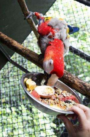 A macaw eats at the Simon Bolivar Zoo's veterinary surgery,  in San Jose on August 28, 2014, Costa Rica