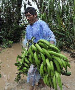 A man collects bananas from a flooded plantation in Puerto Yumani, 15 km from Rurrenabaque, northeast Bolivia on February 4, 201