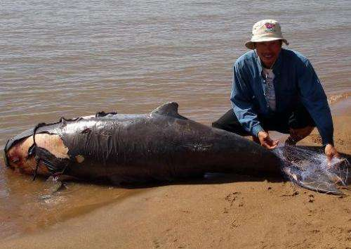A man is seen handling a net tangled on the tail of a dead dolphin, along the Mekong river, in Kratie province, some 300 km nort