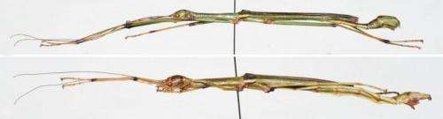 A master of disguise: A new stick insect species from China
