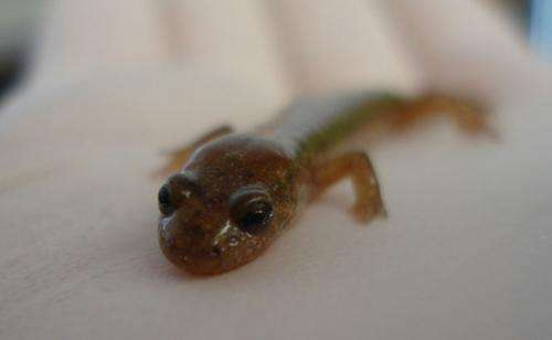 Analysis of salamander jump reveals an unexpected twist