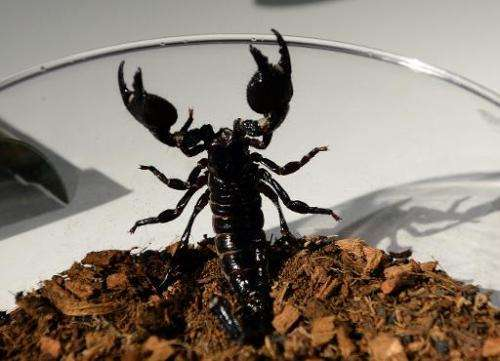 """An Emperor scorpion wants out of a bowl during a media preview for """"Spiders Alive"""" July 1, 2014 at the American Museum"""
