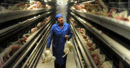An employee carries hens at a poultry farm in the Belarus village of Dubovliany  on January 29, 2014