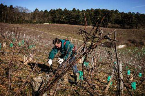 An employee works on vines at Emmanuel Giboulot's domain on February 24, 2014 in Beaune