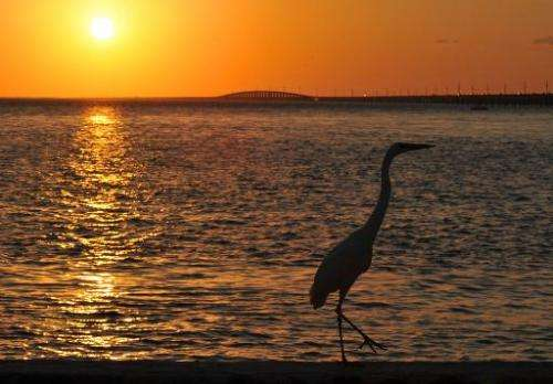 An Ibis is silhouetted as the sun sets in Marathon, Florida in the Florida Keys on February 20, 2011