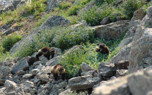 An uphill climb for mountain species?