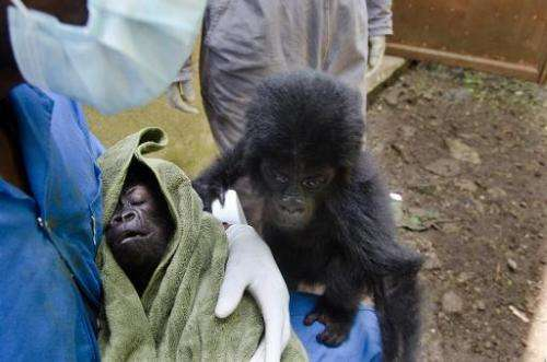 A pair of baby gorillas are seen at Democratic Republic of Congo's Virunga National Park, on September 22, 2012