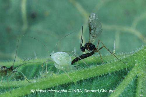 A parasitic wasp lays its egg inside an aphid