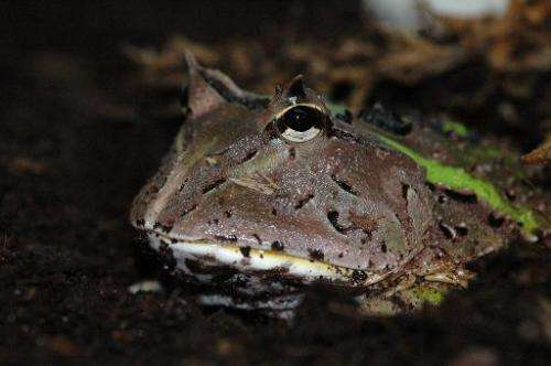 A photo obtained from the Christian-Albrechts-Universitat of Kiel shows a South-American horned frog (genus Ceratophrys), waitin