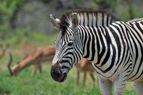 A plains zebra in the Kruger National Park near Nelspruit, South Africa, on February 6, 2013