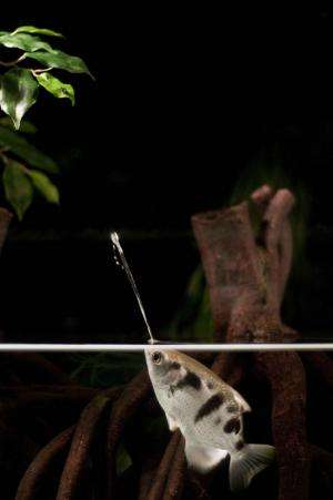Archerfish target shoot with 'skillfully thrown' water