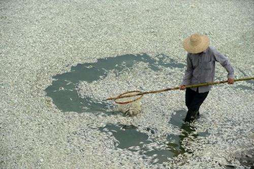 A resident clears dead fish from the Fuhe river in Wuhan, in central China's Hubei province on September 3, 2013 after large amo