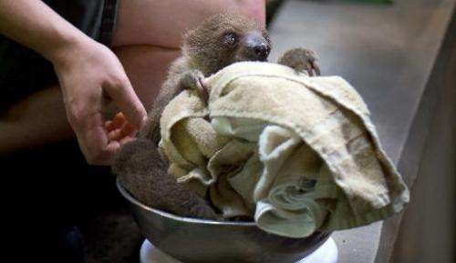 A sloth is being weighed during the annual inventory of the zoo in Dresden, eastern Germany, on January 16, 2014
