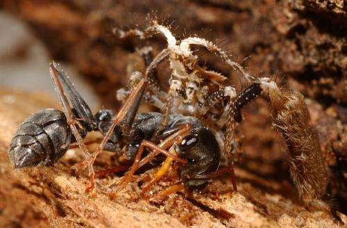 Assassin bug uses a 'slight of leg' to deceive and subdue physically superior prey
