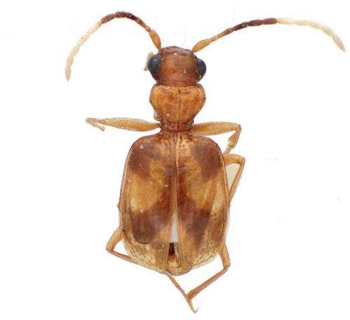 A synopsis of the carabid beetle tribe Lachnophorini reveals remarkable 24 new species