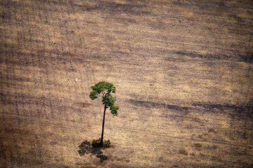 A tree in a deforested area in the middle of the Amazon jungle in the state of Para, Brazil, on October 14, 2014