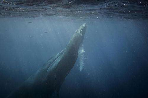 Australian humpbacks challenge breeding grounds assumption