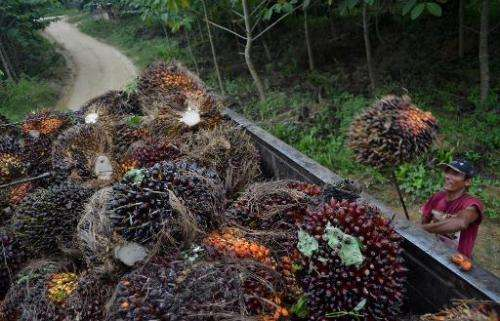 A worker loads harvested palm oil fruits on a plantation in Blang Tualang village in Aceh province, Sumatra on July 28, 2013