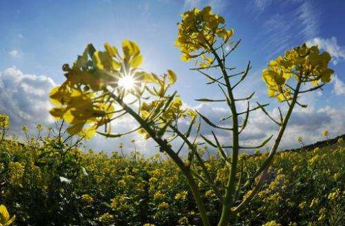 A yellow mustard plant stands on a field near Gross Foerste, Lower Saxony, Germany on October 19, 2011