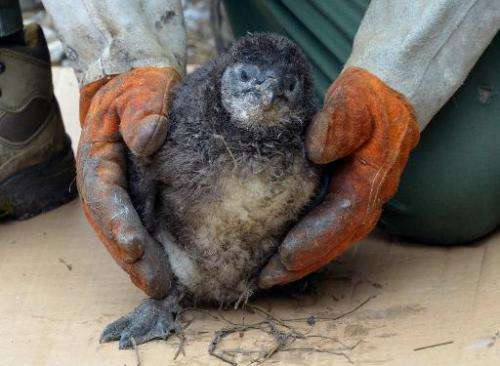 A young penguin is pictured after an injection of an ID chip in the zoo of Szeged, Hungary near the Serbian border on February 2