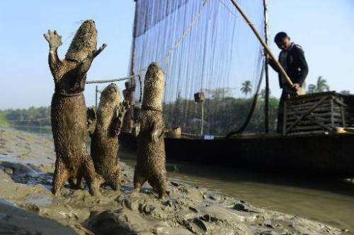 Bangladeshi fisherman feed their otters as they catch fish in Narail on March 11, 2014