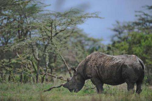 Baraka, an extremely endangered Northern White Rhinoceros grazes at the Ol Pejeta reserve near the central Kenyan town of Nanyuk