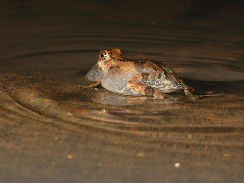 Bats use water ripples to hunt frogs