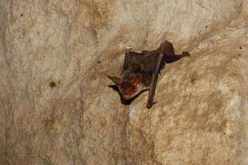 Bats use polarized light to navigate