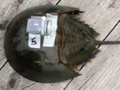 Biomedical bleeding affects horseshoe crab behavior
