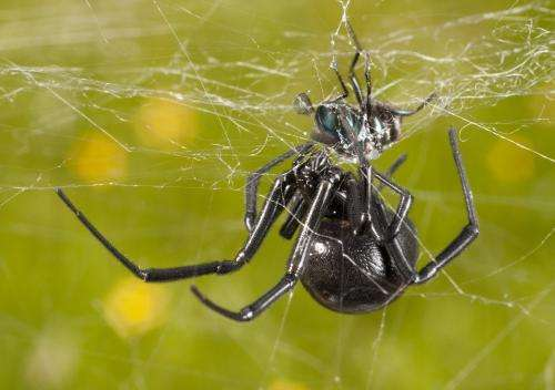 Feast or fancy? Black widows shake for love