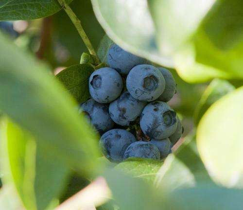Blueberries coated in leaf extracts have longer shelf life