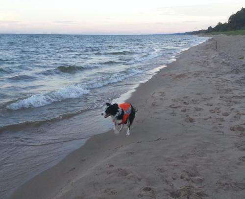 Border collies chase away beach contamination