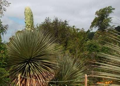 Botanical garden readies for rare, spectacular puya raimondii flowering