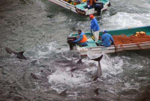 Bottlenose dolphins are trapped in a cove before being caught and killed by Japanese fishermen in the town of Taiji, January 20,