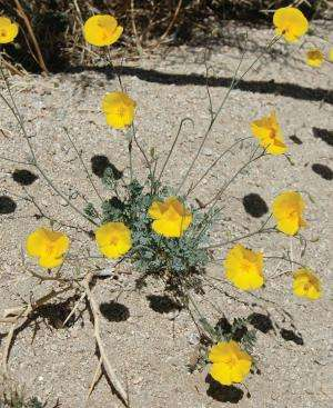 California and Arizona amaze with 2 new species of desert poppy