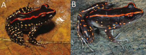 Can a new species of frog have a doppelganger? Genetics say yes