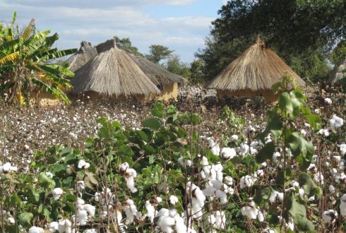Cash crops enhance food security