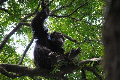 Chimpanzees prefer firm, stable beds
