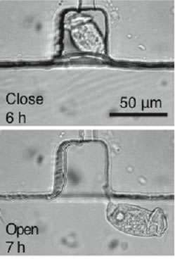 Cilia of Vorticella for active microfluidic mixing