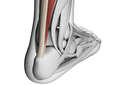 Clues to the ageing of tendons unlocked for the first time