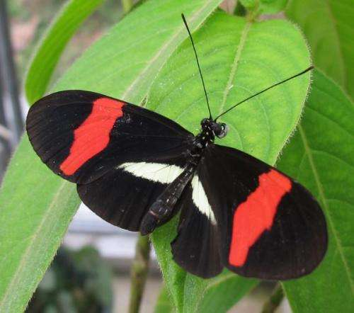 CU-Boulder researchers sequence world's first butterfly bacteria, find surprises