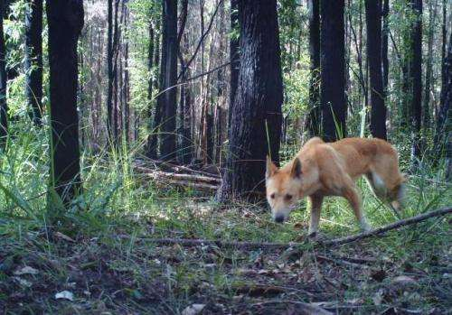 Dingo poisoning should be stopped to protect native Australian mammals