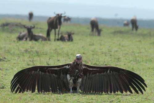 Drought and downing equal vulture supermarkets